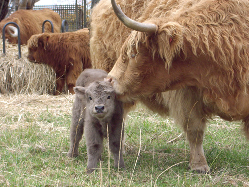 Highland Cow kissing her calf