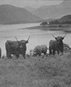Cattle above the loch