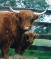 Highland Cow with a young calf