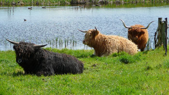 many colours in Highland Cattle