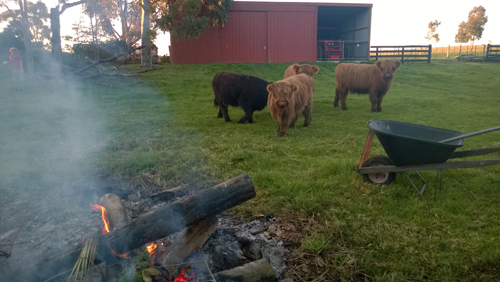 2015 Heifers curious about the fire